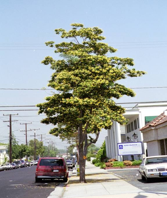 Proposed Replacement Trees For Colorado Avenue City Of