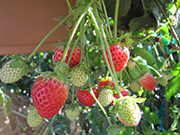 Community-Gardens-Strawberry