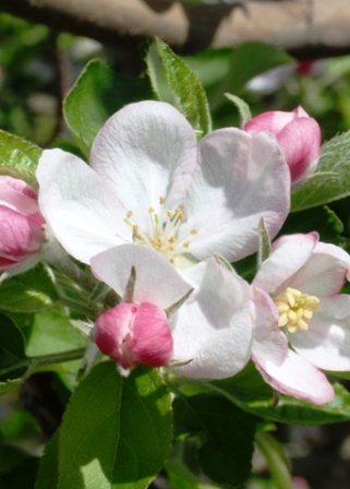 Murray Farms - Apple Blossoms